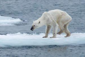 Photographer Kerstin Langenberger captures this shockingly emaciated polar bear walking on thin ice.